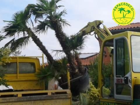 Espacedeco livre de gros sujet, palmier, plante méditerranéenne, livraison de palmier, Quint Fonsegrive, Toulouse, Balma,